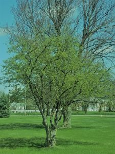 tree in early spring with leaves beginning to show