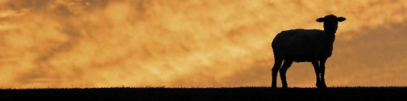 sheep silhouetted against evening cloud background